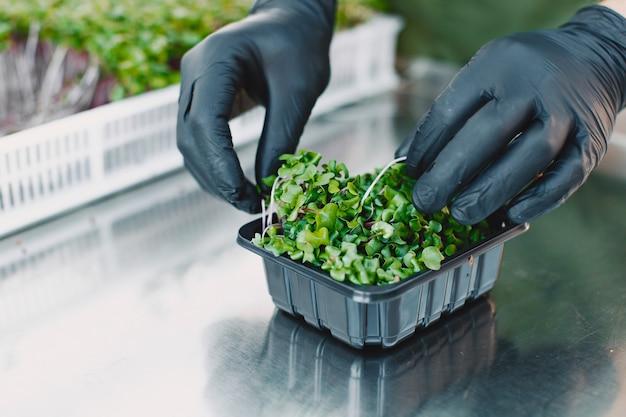 Microgreen corindone coriandolo germogli in mani maschili. germogli crudi, microgreens, concetto di mangiare sano. l'uomo confeziona in scatole. Foto Gratuite