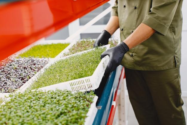 Microgreen corindone coriandolo germogli in mani maschili. germogli crudi, microgreens, concetto di mangiare sano. Foto Gratuite