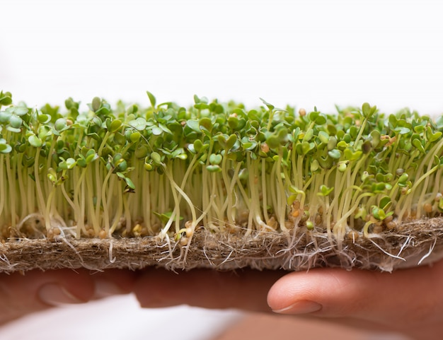 Microgreen. проросшие семена горчицы на льняной циновке в женских руках. Бесплатные Фотографии