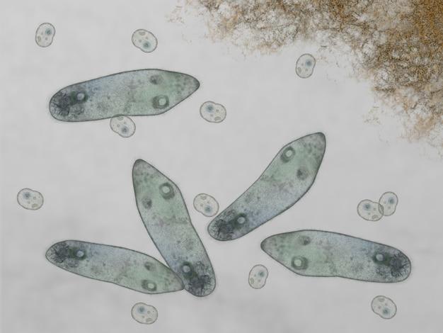 Microscopic of paramecium and amoeba Premium Photo