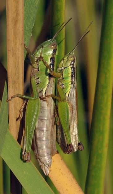 Перелетной саранчи acrididae спаривания кузнечиков Бесплатные Фотографии