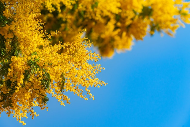 Mimosa spring flowers against blue sky background. blooming mimosa tree over blue sky, bright sun Free Photo