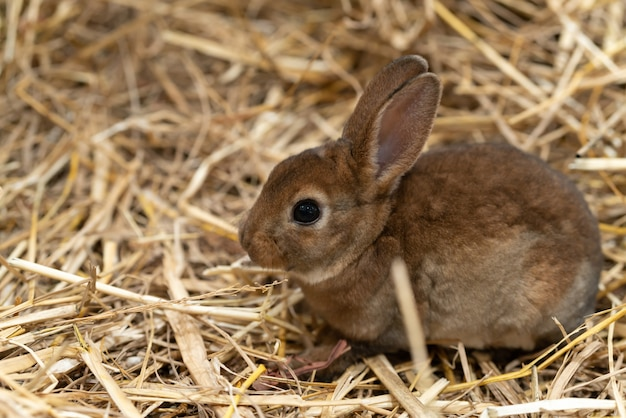 Mini rex is a breed of domestic rabbit Premium Photo