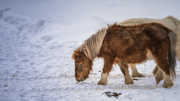 冬の放牧ミニチュア馬 Premium写真