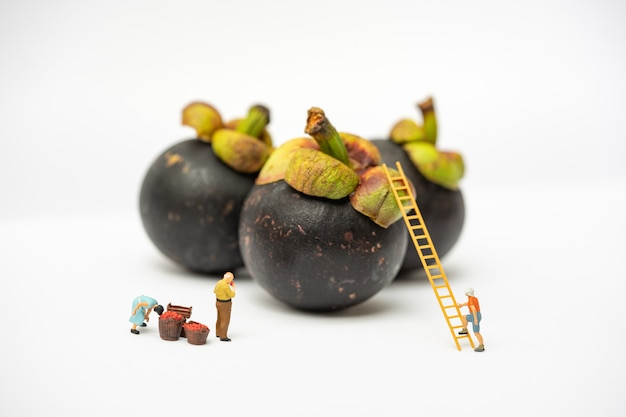 Miniature people, farmer climbing on the ladder for collecting mangosteen from big mangosteen isolated on white background. Premium Photo