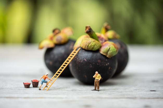Miniature people, farmer climbing on the ladder for collecting mangosteen from big mangosteen. Premium Photo
