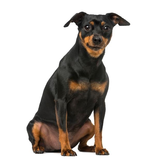 Pinscher Alemão Vs. Chihuahua - Entenda as diferenças