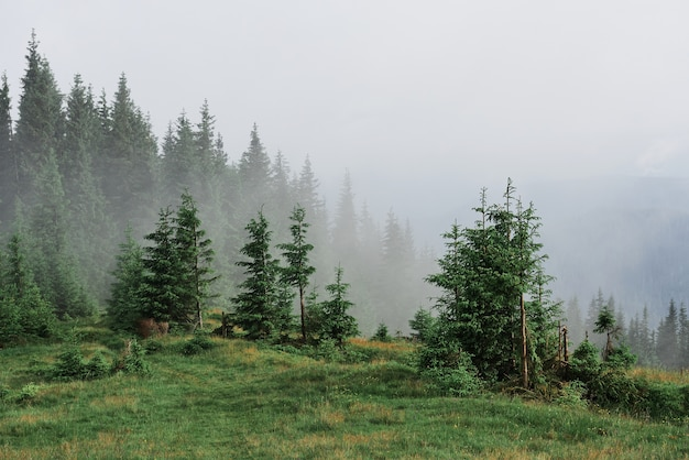Misty carpathian mountain landscape with fir forest, the tops of trees sticking out of the fog. Free Photo