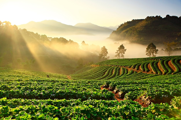 Misty morning in strawberry plant at doi ang khang mountain, chiang mai thailand Premium Photo
