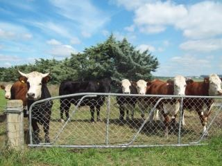 Mixed cattle herefords and others at wes Free Photo