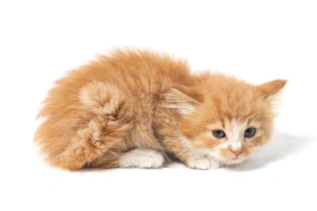 分離された混合の国内オレンジの子猫猫 Premium写真