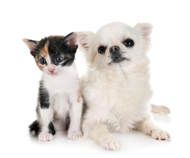 Moggy kitten and chihuahua Premium Photo