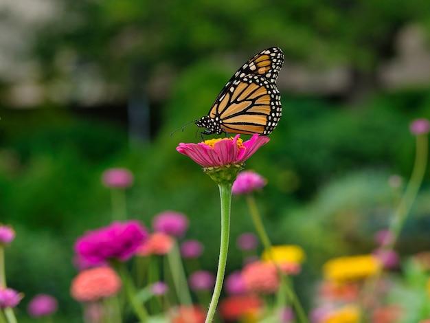緑に囲まれた庭のピンクの花のモナーク蝶 無料写真