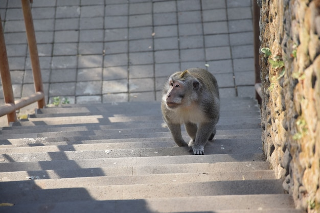 Monkey walk on the stairs. monkey forest, bali, indonesia Premium Photo