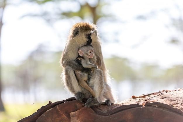 カブケニアと猿 無料写真