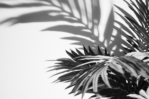 Monochromatic palm leaves and shadow on white backdrop Free Photo
