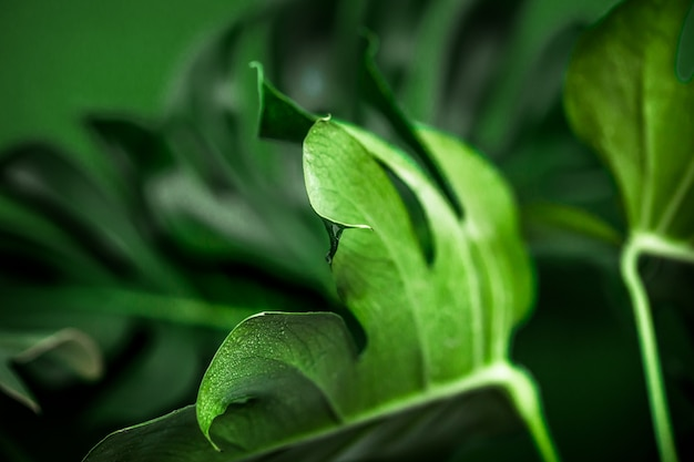 Monster leaves on a green background Free Photo