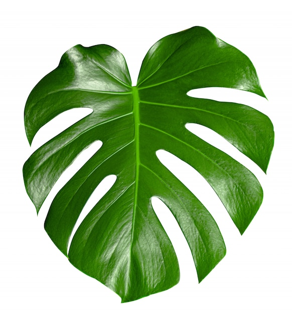 Monstera beautiful green leaf of houseplants, , element for design or decoration. Premium Photo