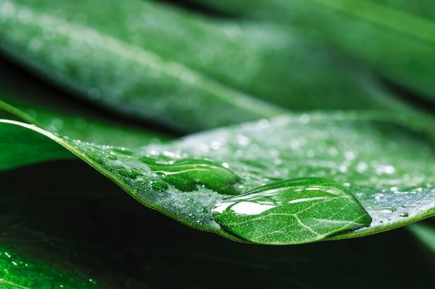 Monstera deliciosaまたはスイスチーズ工場の露のマクロ水滴熱帯の葉 Premium写真
