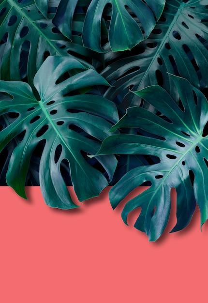 Monstera deliciosa熱帯の葉 Premium写真