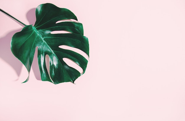 Monstera green leaf on pink Premium Photo