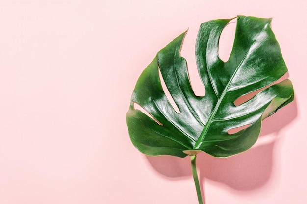 Monstera green leaf on pink Free Photo