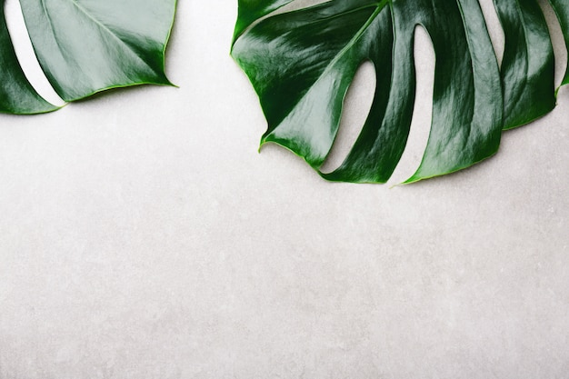 Monstera green leaves on grey Premium Photo