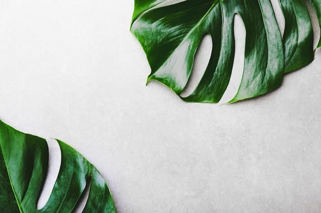 Monstera green leaves on grey Premium Photo