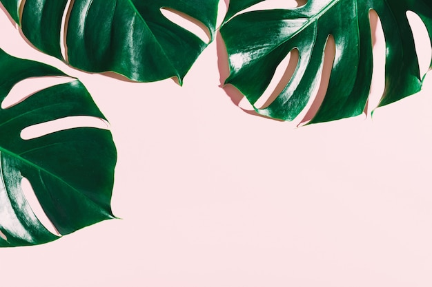 Monstera green leaves on pink Free Photo