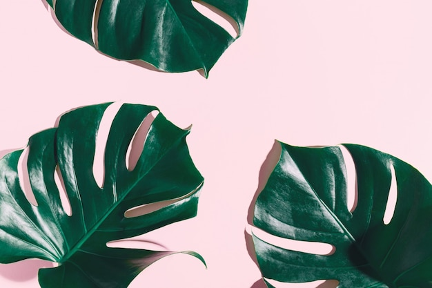 Monstera green leaves on pink Premium Photo