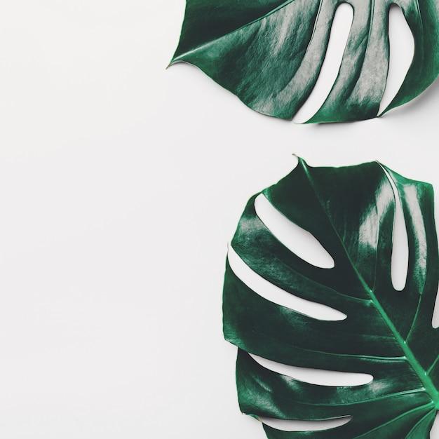 Monstera green leaves on white Premium Photo