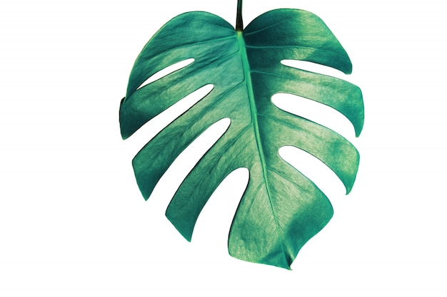 Monstera leaf isolated on white background with clipping path. Premium Photo
