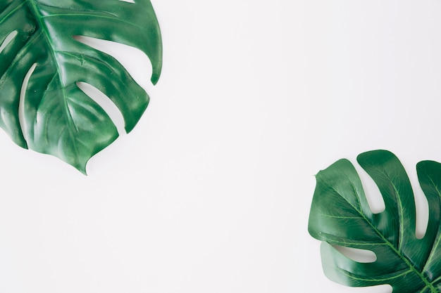 Monstera leaf or swiss cheese leaf on the corner of the white background Premium Photo