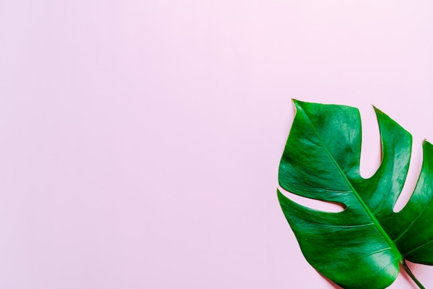 Monstera leave on color background Premium Photo