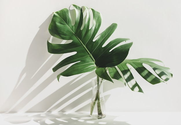 Monstera leaves in glass jug with sunlight and long shadow on white wall Premium Photo
