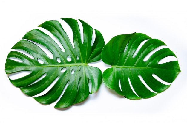Monstera leaves leaves with isolate on white background leaves on white Premium Photo