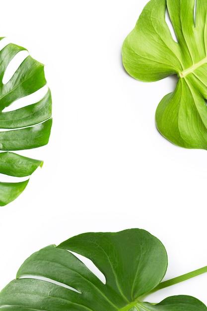 Monstera plant leaves on white Premium Photo