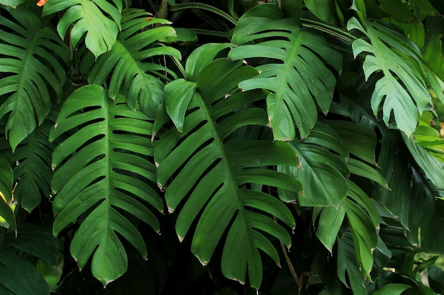 Monstera plants or leaves thrive in tropical forests Premium Photo
