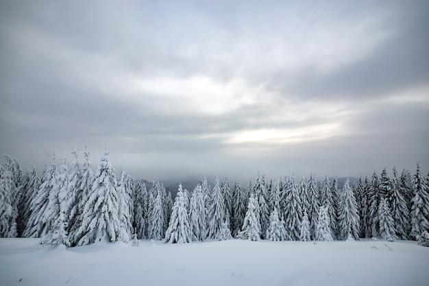 Moody winter landscape of spruce forest cowered with deep snow in white cold frozen mountains. Premium Photo