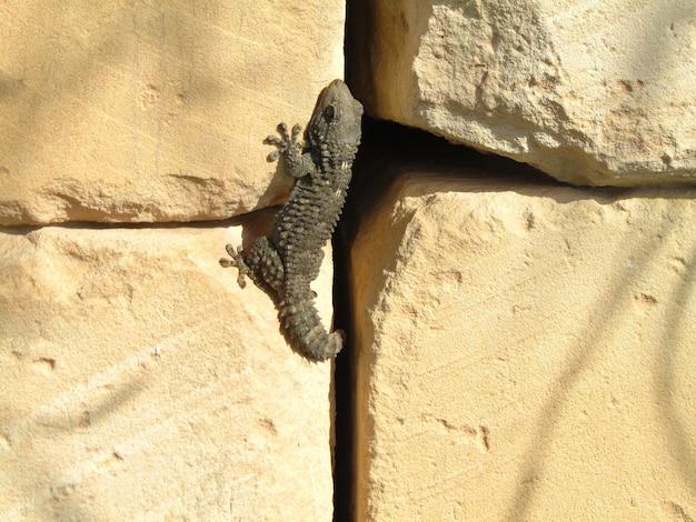 Geco moresco su una roccia sotto il sole Foto Gratuite