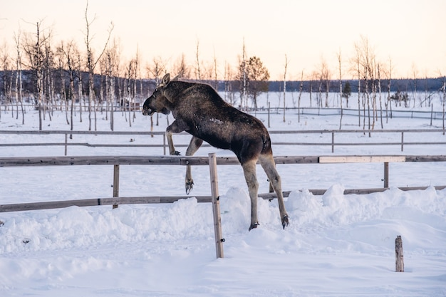 Moose jumping over the wooden fence in the north of sweden Free Photo