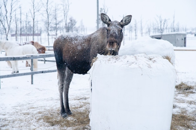 Moose standing near a block of hay while looking towards the camera in the north of sweden Free Photo
