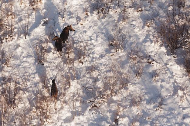 Moose, three wild elk on the snow, top view. Premium Photo