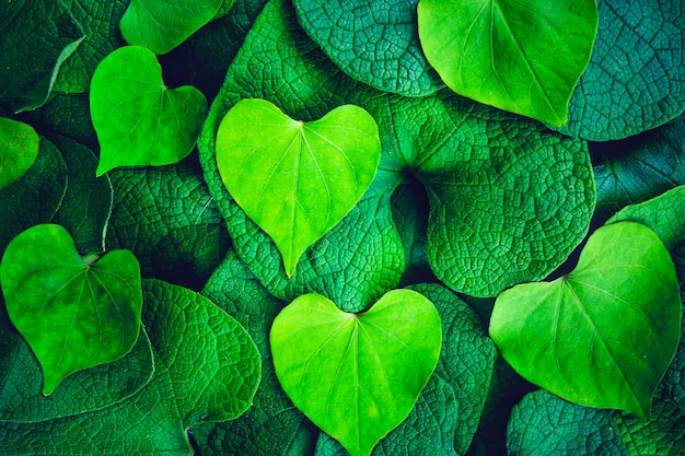 Morning glories and creative heart shape green leaf for background and wallpaper concept. Premium Photo