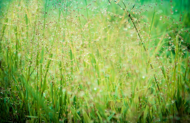 Morning Sunrise With Dew Drops On Green Grass Spring Nature Wallpaper Relax Background Premium Photo
