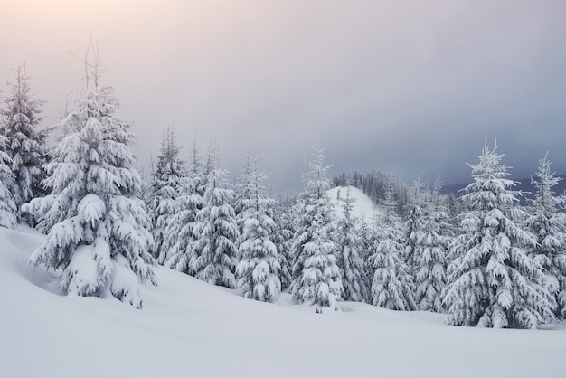 Morning winter calm mountain landscape with frosting fir trees and ski track snowdrifts on mountain slope Free Photo