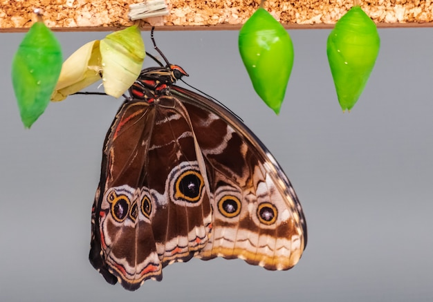 Morpho peleides butterfly, hatching from chrysalis Premium Photo
