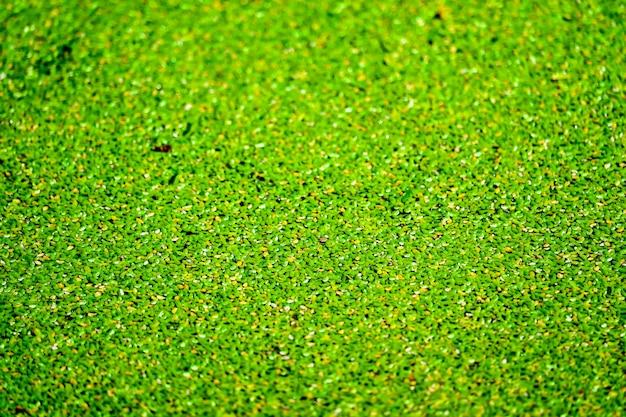 Москитный папоротник имеет зеленый и желтый цвет и опадает на поверхность воды. Premium Фотографии