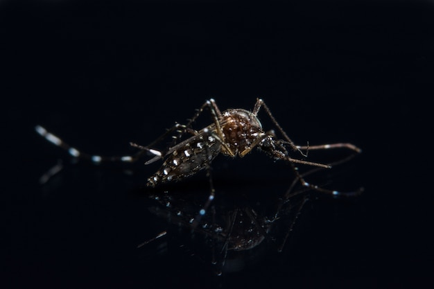 Mosquito macro background on black mirror Premium Photo