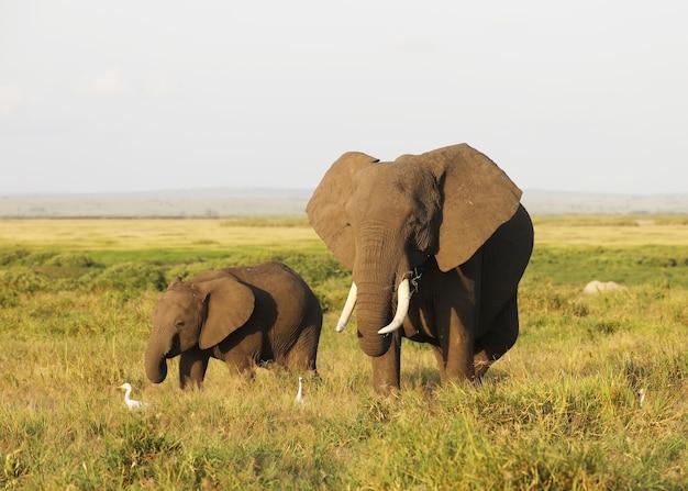 Мать и слоненок гуляют по саванне национального парка амбосели, кения, африка Бесплатные Фотографии